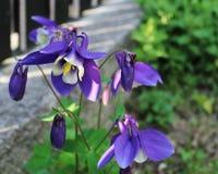 Blaue und weiße Blume Lizenzfreie Stockfotografie