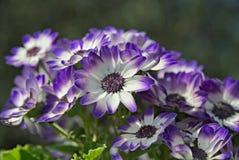 Blaue und weiße Blumen im Sommer Stockbild