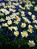 Blaue und weiße Blumen in Keukenhof Lizenzfreie Stockbilder
