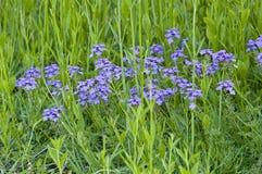 Blaue Unkrautblumen Stockfotografie