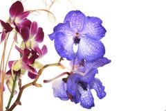 Blaue Vanda-Orchidee auf Weiß Stockfotos