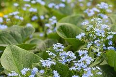 Blaue Vergissmeinnichtblumen, Myosotis Lizenzfreie Stockfotografie