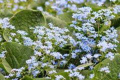 Blaue Vergissmeinnichtblumen, Myosotis Lizenzfreies Stockfoto