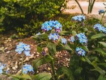 Blaue Vergissmeinnichte im Garten stockfotografie