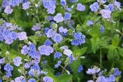 Blaue Vergissmeinnichte im grünen Gras Stockbilder
