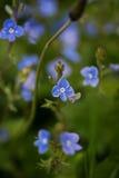 Blaue Veronica-Blumen auf einem Feld lizenzfreie stockfotografie