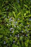 Blaue Veronica-Blumen auf einem Feld stockfotos