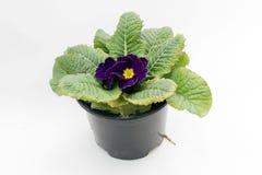Blaue violette Primel primel Frühlingsblume Primel mit den grünen Blättern lokalisiert auf weißem Hintergrund stockfotografie