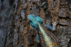 Blaue vorangegangene Baum-Dickzungeneidechse-Eidechse Stockfoto
