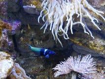 Blaue vorangegangene girelle Fische am Gosier-Aquarium in Guadeloupe lizenzfreie stockfotos