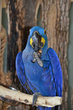 Blaue Vorderansicht Hyacinth Macaws, die eine Nuss isst Lizenzfreie Stockbilder