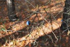 Blaue wilde Beeren auf einer Niederlassung Lizenzfreie Stockbilder