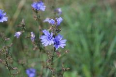 Blaue wilde Blume der Nahaufnahme auf einem grünen Hintergrund Cichorium intybus Lizenzfreie Stockfotos