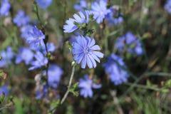 Blaue wilde Blume der Nahaufnahme auf einem grünen Hintergrund Cichorium intybus Weicher Fokus Stockfoto
