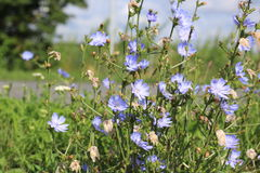 Blaue wilde Blume der Nahaufnahme auf einem grünen Hintergrund Cichorium intybus Weicher Fokus Stockfotografie
