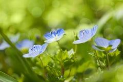 Blaue wilde Blumen auf defocused Hintergrund - neue Frühlingsnatur Stockfotos