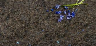 Blaue wilde Blumen Scilla des Frühlinges und Weidenniederlassungen auf Labrador Lizenzfreie Stockbilder