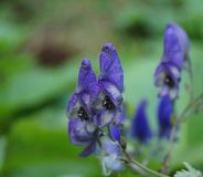 Blaue Wildflowers - Aconitum degeni Lizenzfreie Stockfotografie