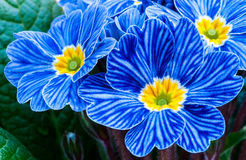 Blaue Zebraprimel Lizenzfreies Stockbild