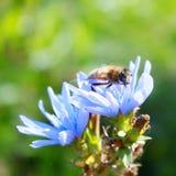 Blaue Zichorieblume und Bier - Fotos auf Lager Stockfotos