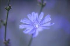 Blauer Abschluss Blume der Zichorie herauf purpurroten Unschärfe Hintergrund Lizenzfreies Stockfoto