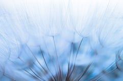 Blauer abstrakter Löwenzahnblumenhintergrund, Nahaufnahme mit weichem foc Stockbild