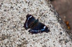 Blauer Admiralsschmetterling auf einem Schritt Stockbild
