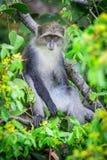 Blauer Affe Stockfoto