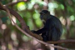 Blauer Affe, der auf Niederlassung im Schatten sitzt Lizenzfreie Stockfotos