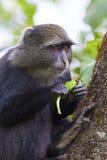 Blauer Affe, der im Baum isst Lizenzfreie Stockfotografie