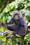 Blauer Affe, der im Baum sitzt Lizenzfreie Stockbilder