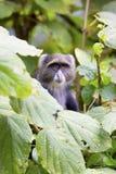 Blauer Affe im Baum Stockfotografie