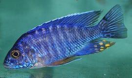 Blauer afrikanischer Cichlid, See Malawi stockbilder