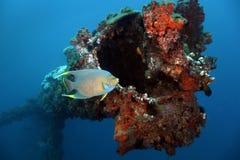 Blauer Angelfish - Panama City ablandig lizenzfreie stockbilder