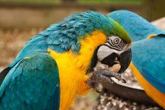 Blauer Anzeigengelb Macaw, der eine Erdnuss knackt Lizenzfreie Stockbilder