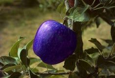 Blauer Apfel auf einem Baum Stockfotos