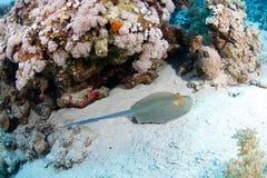 Blauer beschmutzter Stingray Lizenzfreies Stockfoto