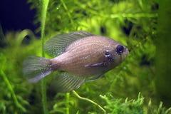 Blauer beschmutzter Sunfish stockbild