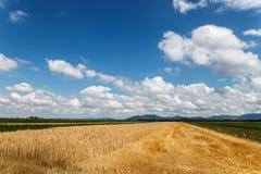 Blauer bewölkter Himmel über Feld des Kornes Stockfoto