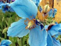 Blauer Blumen-Tau Stockbild