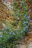Blauer Blumenefeu auf alter Steinwand Stockfoto