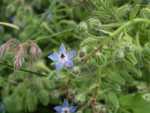 blauer Borage, blühend mit Grün Stockfotografie
