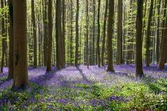 Blauer Buchenwald des Frühjahres (4) Lizenzfreie Stockfotos