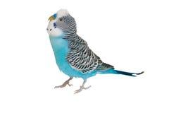 Blauer Budgerigar auf weißem Hintergrund Stockfoto