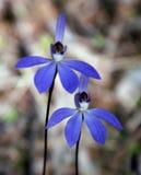 Blauer Caladenia lizenzfreie stockfotos