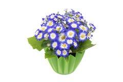 Blauer Cineraria in einem grünen Blumentopf stockfoto