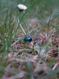 Blauer Erlenblattkäfer auf Gras Lizenzfreies Stockfoto