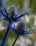 Blauer Eryngium Lizenzfreies Stockfoto