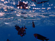 Blauer Flosse Damselfish lizenzfreies stockbild