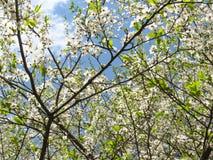 Blauer Frühlingshimmelglanz durch die Niederlassungen von schönen blühenden weißen tsyetov Bäumen stockfoto